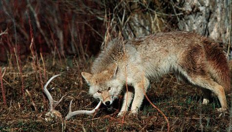Coyotes Taking Toll On Deer Season